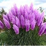 500 PCS Erba di pampa Semi Cortaderia Bella giardino domestiche di DIY pianta facile da coltivare alta germinazione (Rosa Giallo Bianco Viola)