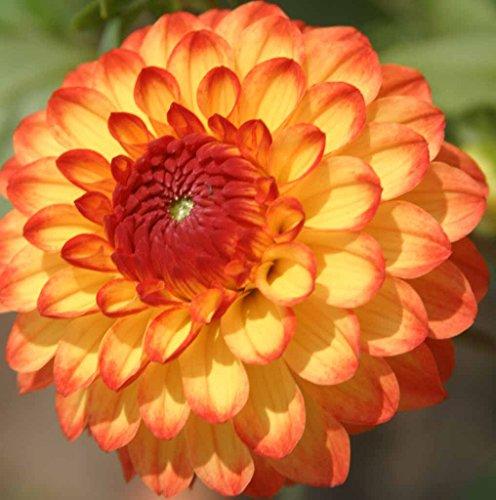 ((5) Beautiful Flowering Blooms Dahlia Mardi Gras Mix Bulb/rhizome/root/plant Perennial)
