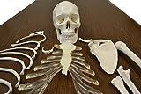 Disarticulated Human Skeleton, Full, Medical
