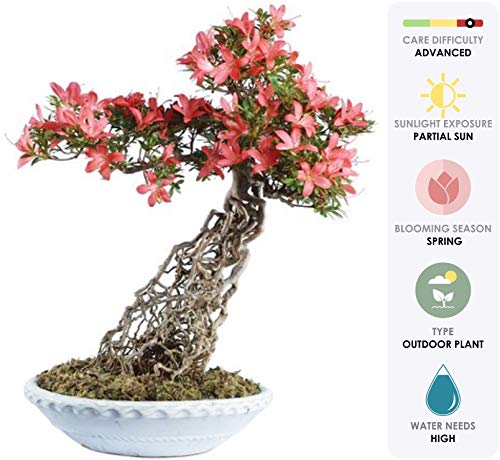 - Brussel's Live Azalea Specimen Outdoor Bonsai Tree - 25 Years Old; 17