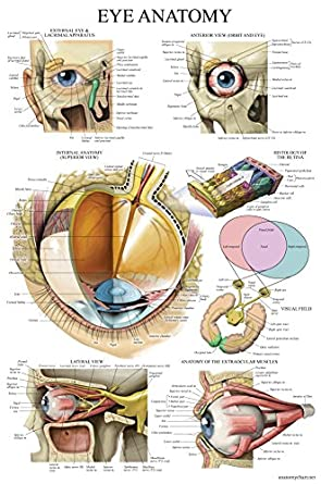 Laminated Eye Anatomical Poster Human Eye Anatomy Chart 18 X 27