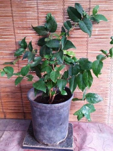 Surinam Cherry (Star Cherry) Tropical Fruit Tree
