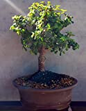 Indoorbonsaiexotics Dwarf Baby Jade Large Bonsai Tree