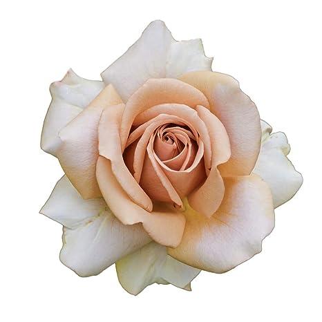 Mokarosa®, rosaio vivo Rose Barni®, rosa in vaso colore caffè crema ...