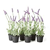 Napa Home & Garden French Lavender 13'' Drop-In, Set of 6