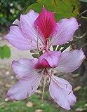buyrareseeds Bauhinia variegata | Kachnar | Mountain Ebony | 10_Seeds