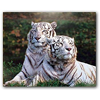 Amazon.com: White Siberian Tiger - Nature Poster (Size: 24
