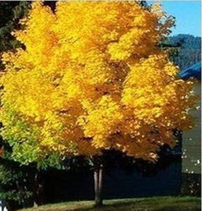 20Seeds árbol de arce de color amarillo vivo de semillas semillas de árboles de jardín de Noruega de arce de oro buen precio bonsai pronto: Amazon.es: Jardín