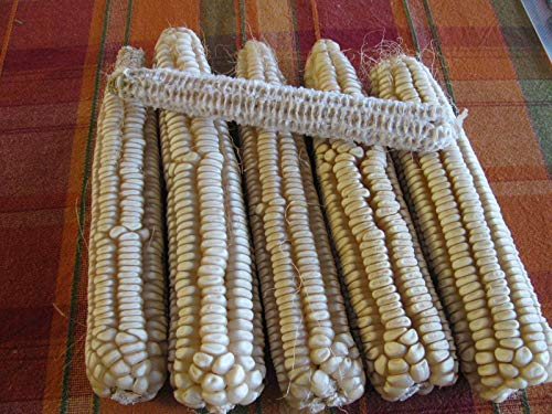 Go Garden Rare Heirloom Hickory Cane Corn-Non GMO-White Dent Corn-Open Pollinated-8 Row ()