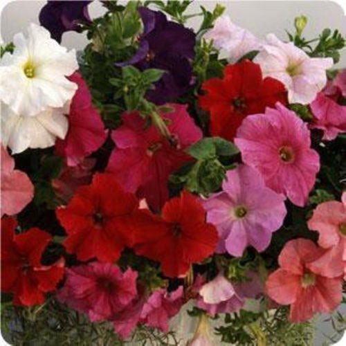 Supercascade Series F1 Petunia 30 Seeds 10 Beautiful Colors Trailing in Baskets