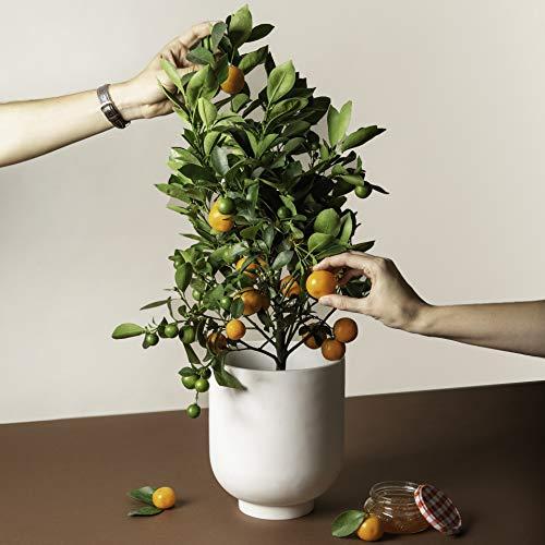 Calamondin Citrus Plant (Miniature Citrus Tree)