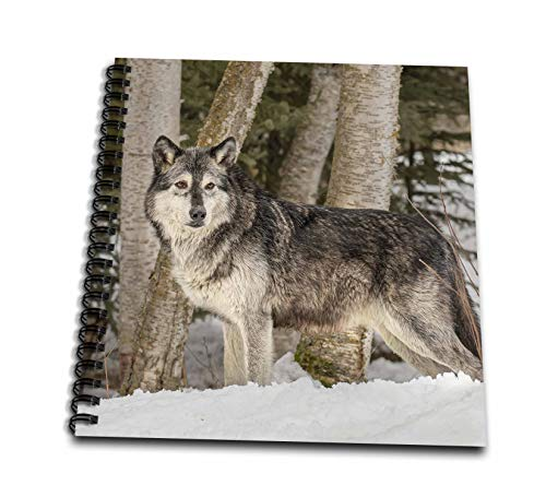 3dRose Danita Delimont - Wolves - Gray Wolf or Timber Wolf, winter, captive. Montana. - Memory Book 12 x 12 inch (db_314901_2)