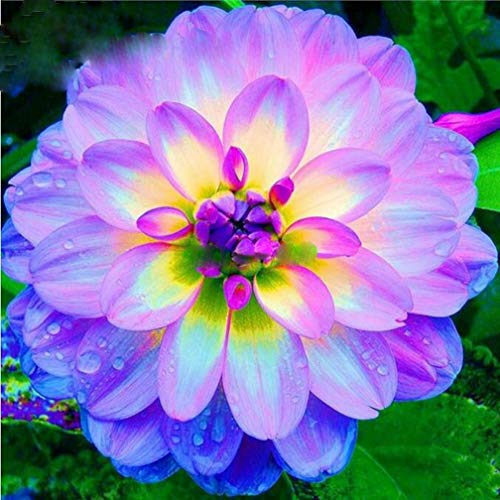 100Pcs Rare Blue and White Point Dahlia Seeds Beautiful Perennial Flowers Plants Dahlia for DIY Home Garden Sementes Bonsai Seeds
