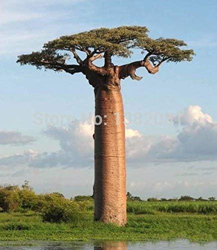HOO PRODUCTOS 10 piezas de las semillas de baobab raras semillas de plantas de jardín tropical Hogar y Jardín Nueva llegada!: Amazon.es: Jardín