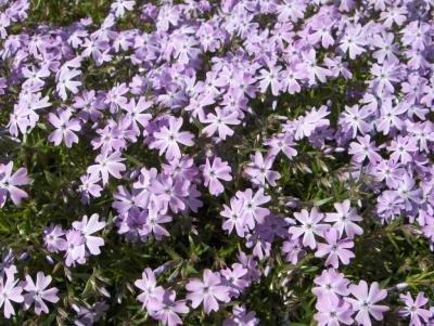 Classy Groundcovers - Phlox 'Purple Beauty' Creeping Phlox, Moss Phlox {25 Pots - 3 1/2 in.} by Classy Groundcovers (Image #7)