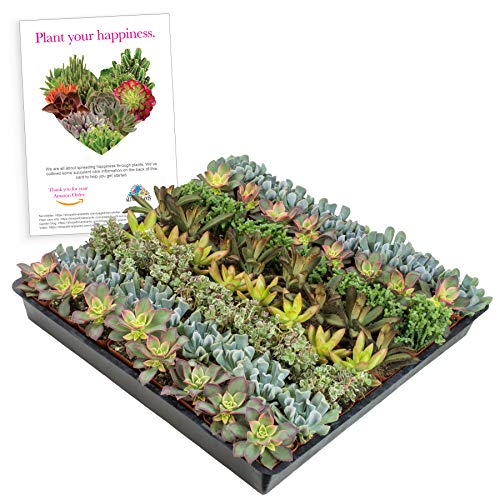 Altman Plants Mini Live Assorted Succulents Weddings, Party favors, DIY terrariums, Gifts 2