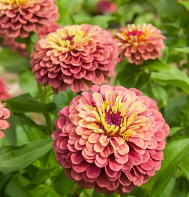 David's Garden Seeds Flower Zinnia Queen Red Lime DGS1987OB (Pink) 50 Open Pollinated Seeds