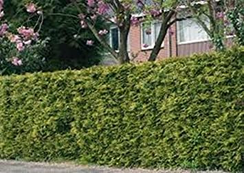 farm and garden 20 x 1m tall potted evergreen hedge plants thuja