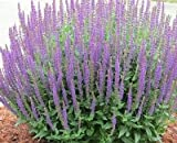 Hyssop Hyssopus officinalis 500 seeds Grow your own herb ez grow CombSH E22