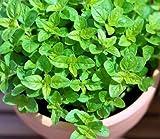 Sweet Marjoram Seeds Heirloom Non-gmo Fragrant Flavorful Herb * 100 Organic Seeds