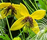 CLEMATIS GOLDEN YELLOW Clematis Tangutica Aztek - 250 Bulk Seeds