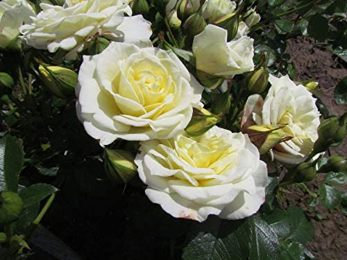 Buff Champagne//Pink Coloring Ideal Gift Rose JUST for You 5.5lt Potted Floribunda Garden Rose Bush Beautifully Shaped Buds and Blooms Exclusive Rose Early and Repeat Flowering