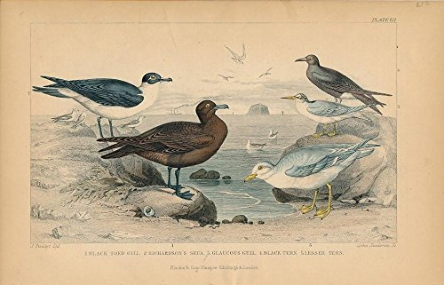 - Gulls Skua Terns c. 1850s nice old hand colored Bird print