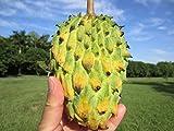 "2 POTS 2 PLANTS 24 - 30"" Biriba Nanqka Custard Apple Rollinia mucosa Fruit Tree"