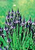 Blue Vervain (Verbena hastata), 2000 Certified Pure Live Seed, True Native Seed