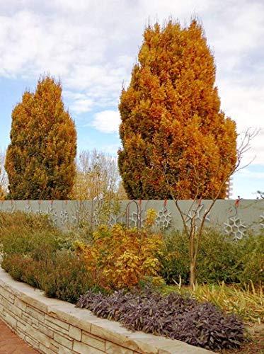 Fagus sylvatica Dawyck Gold - Fastigiate Beech, Grafted 3 Plants in 1Ltr. Pots ()