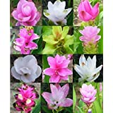 Plentree Seeds Package: 10 Bulbs Mixed Colors Siam Tulip Curcuma Alismatifolia Tropical + Free Phyto