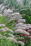 Pennisetum alopecuroides 'Red Head' Fountain Grass Live Plant 1 Quart