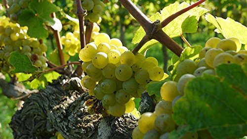 Gifts Delight Laminated 42x24 inches Poster: Grapes Wine Grapes Riesling Wine Food Alcohol Red Drink Winery Ripe Sweet Berry Tasty Plant Healthy Vine Yellow ()