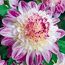 Powder Puff Dahlia Que Sera, Beautiful Hollyhock Flowers, Fresh Flowering Large Sized Bulb, Rhizome, Root, Nice addition to your Garden, Unique Color