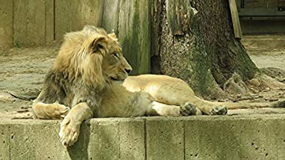 Home Comforts Lion Dc National Zoo Park Washington USA - Vivid Imagery