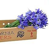 Stargazer Barn 60 Stems of Fresh Telstar Iris - DIY Wholesale Party Pack - Direct from Farm