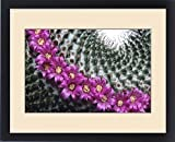 Framed Print of Flowering pincushion cactus. Mammillaria huitzilopochtli. Native to Oaxaca