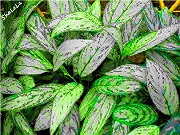 Mosaik 10 Blumensamen Zierpflanzen Schã¶ne D'appartamento Fash Pc Pflanzen Blume Indoor Samen Mehrjã¤hrige Lady Aglaonema 10 Pianta Bã¤ume Immergrã¼ne 200 SRwXq