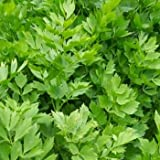 Outsidepride Lovage - 1000 Seeds