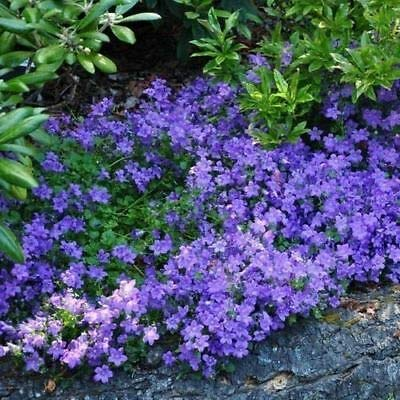 Bellflower Blue Flower Seeds Campanula Carpatica Blue 200 Seeds : Garden & Outdoor