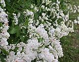 50+ RARE WHITE ALBA Coral Vine Seeds VIGOROUS BLOOMER OL