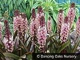 Reuben' (Eucomis) - Eucomis (Pineapple Lily) 1 Bulb- 9-11 Tropical Plant .