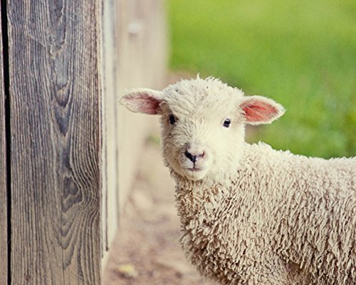 rustic-fine-art-photography-baby-lamb-nursery-art-animal-photograph-green-decor-large-childrens-room