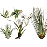 3 different Tillandsia for terrariums and tying