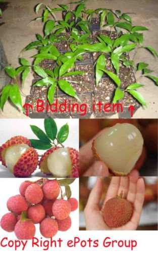Amazon Com Potted Lychee Tree Edible Fruit Plant Exotic Tropical