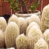 "1 Bare Root of Espostoa Lanata ""Old Man"" Cactus/Plant"