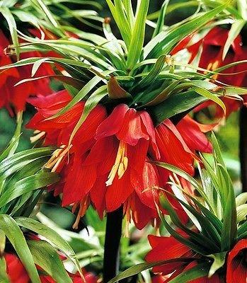 (Red Fritillaria Bulbs Crown Imperial Red bulbs,Fritillaria Ruba )