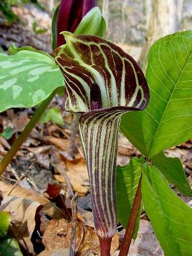 Amazoncom 5 Jack In The Pulpit Brown Dragon Arisaema Triphyllum