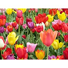 25 Mixed Colors Tulip Bulbs - Freshly Imported from Holland