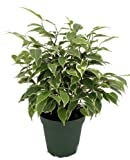 "Starlite Express Weeping Fig Tree - Ficus benjamina - Easy to Grow - 4"" Pot"